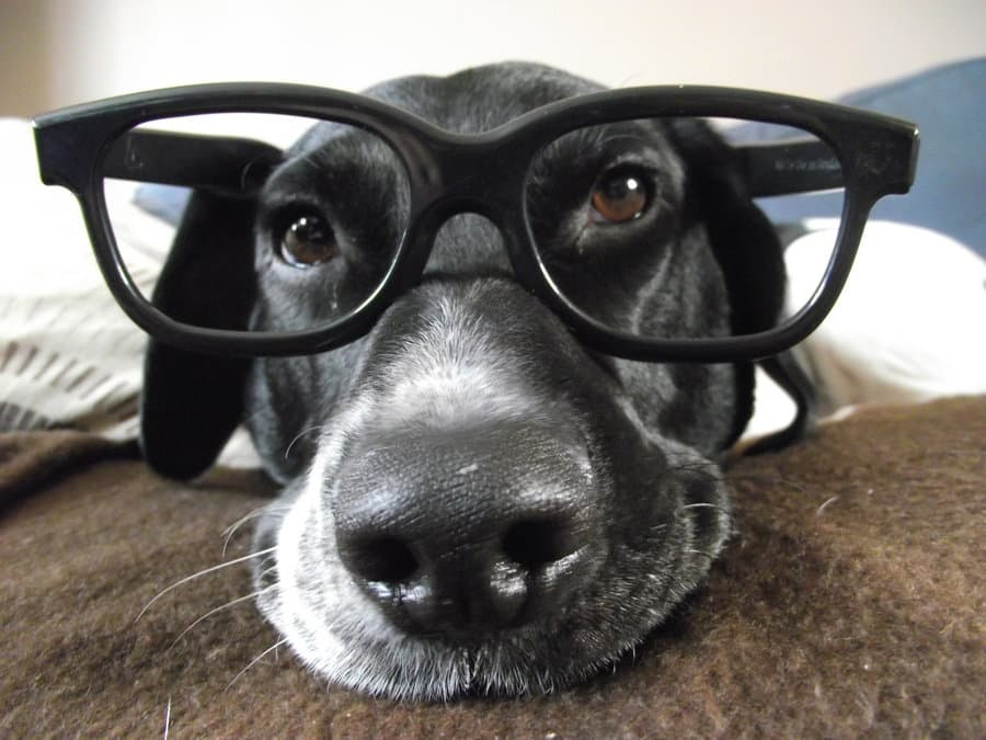 dog with glasses - 900×675
